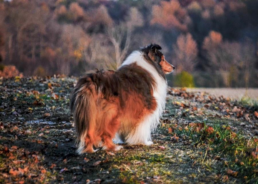 Doggie Dream by Tim Hall - Animals - Dogs Portraits ( sheltland sheepdog, sheltie )
