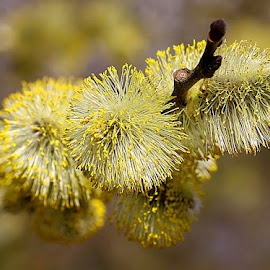 Catkin Bokeh by Chrissie Barrow - Nature Up Close Other Natural Objects ( catkins, pollen, flowering, nature, twig, yellow, bokeh, closeup )