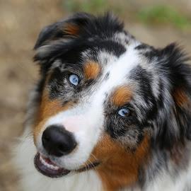 Foster  by Lora Shank - Animals - Dogs Portraits ( west virginia, australian, beautiful, australian cattle dog, australian shepherd, portrait, eyes, shallow dof, blue, pet, blue eyes, blue merle, puppy, baby, dof, dog, aussie,  )