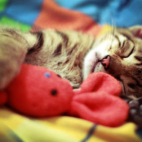 Kitten Dream by Diana Grigore - Animals - Cats Portraits ( kitten, cat, dream, kitty )