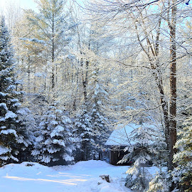 Winter Wonderland by Paulette King - Landscapes Weather ( snowy trees, fir trees, winter, my yard, snow,  )
