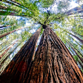 Reeling Redwoods by Barbara Brock - Nature Up Close Trees & Bushes ( redwoods, looking up at trees, fish-eye lens, forest, woods, tall trees, huge trees )