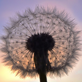 Backlit Dandelion by Tim Hall - Nature Up Close Other plants ( purplle yellow, dandelion, twilight, weed, nature up close, dusk )