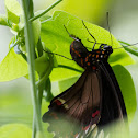 Polydamus Swallowtail