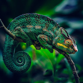 Chameleon by Johan Le Bail - Animals Reptiles ( cameleon, wild, lizard, animals, colorful, green, colors, texture, wildlife, spiral, vibrant, chameleon, skin, madagascar, camouflage, reptiles, nosy be, hiding, color, primarycolors, africa, reptile, animal )