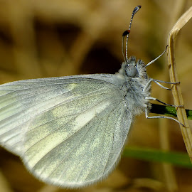 Cryptic Wood White Butterfly by Pat Somers - Animals Insects & Spiders