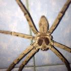 Hunts man Spider