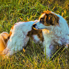 Maggie Lost the Squirrel  by Tim Hall - Animals - Dogs Portraits ( spaniel, hunting dog, birding dog )