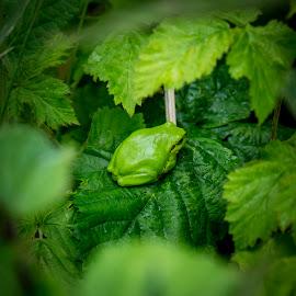 Green! by Morten Rasmussen - Animals Amphibians ( treeliving, frog, green, denmark )
