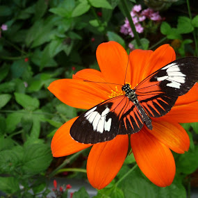 Butterfly on orange flower by Peg Elmore - Novices Only Flowers & Plants ( butterfly, flower )