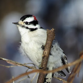 Audubon Downy by Erika  Kiley - Novices Only Wildlife ( bird, winter, branch, twig, woodpecker )