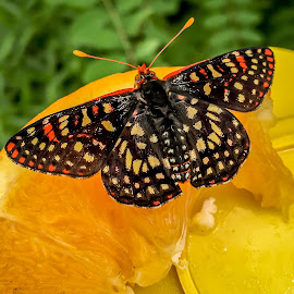 Checkered Butterfly by Leah N - Animals Insects & Spiders ( enite phone library )