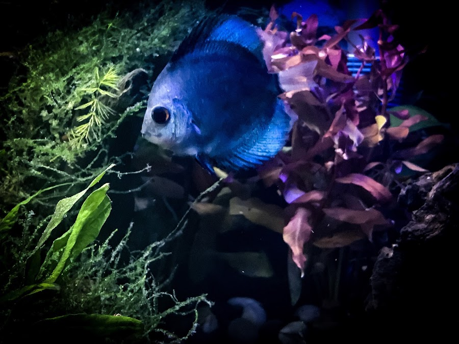 Blue Diamond Phillips the discus fish by Sean Valdez - Instagram & Mobile iPhone ( iphone 7, moss, blue, discus fish, blue diamond discus, planted, fish, aquarium )