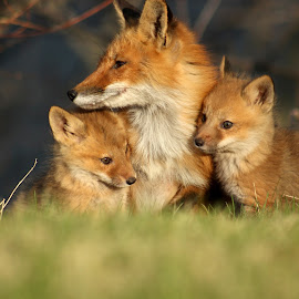 mother and babies by Sue Connor - Animals Other Mammals ( fox pups, fox, fox kits, fox cubs, red fox )