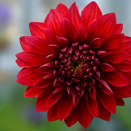 by Jeanne Knoch - Flowers Single Flower