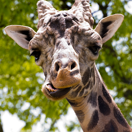 Funny Face Giraffe by Joel Eade - Animals Other Mammals ( green, majestic, beautiful, funny, good, cute, pretty, mammal, great, giraffe, awesome, best, brown, lighbrown, perfect, animal )