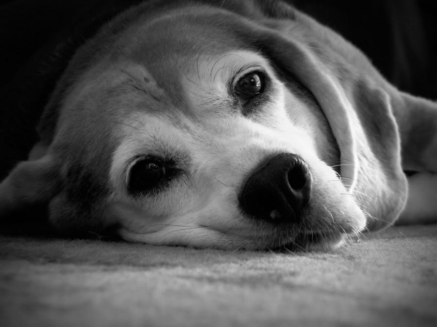 Gracie (Black & White) by Carrie Klotz - Animals - Dogs Portraits