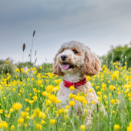 Poppy in the buttercups by Tony Walker - Animals - Dogs Playing ( cockerpoo, flowers, outdoors, puppy, nature, dog, meadow )