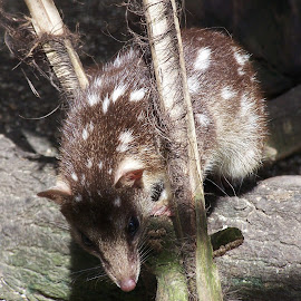 Spotted Quoll by Sarah Harding - Novices Only Wildlife ( nature, outdoors, novices only, wildlife, animal )