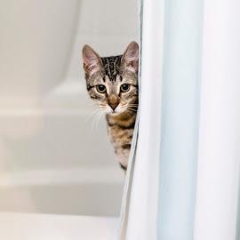 The serial killer behind the shower curtain.... by Brook Kornegay - Animals - Cats Kittens ( kitten, cat, pets, bath, shower, bathroom, feline, tabby, portrait, eyes, animal,  )