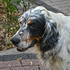 hobo by Mario Denić - Animals - Dogs Portraits ( hobo, hound, dog, portrait, animal )