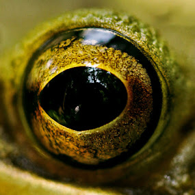 eyes by Mbah Gatot Nugroho Susanto - Animals Amphibians