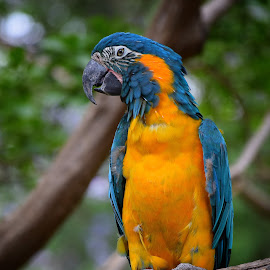 The Showy Macaw by David Head - Animals Birds ( bird, animals, nature, colorful, beautiful, birds, animal, macaw )