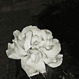 by Zvonimir Đarmati - Black & White Flowers & Plants