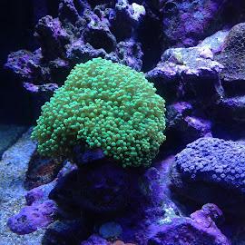 by Arief Putranto - Instagram & Mobile iPhone ( mobilography, coral, iphoneography, aquatic, underwater, aquarium, iphonesia )