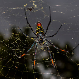 Golden Orb Spider, South Africa by Colin Chalkley - Animals Insects & Spiders ( pregnant spider, spiders, female golden orb spider, private game reserve, kwa madwala reserve, pregnant golden orb spider, safari, south africa, south african spider, mpumalnga province, spider, golden web )
