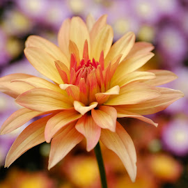 Yellow/red dahlia by Jim Downey - Flowers Single Flower ( red, orange, dahlia, yellow, purple )