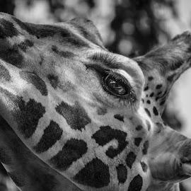 Rothschild's Giraffe by Jack Lewis McClure - Animals Other Mammals ( rothschild's, detail, black and white, giraffe, rothschild's giraffe, close up )