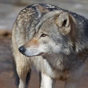 Wolf by Larry Kaasa - Animals Other Mammals ( wolf )
