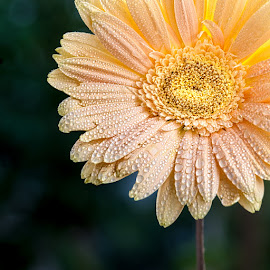 Just Beauty by Gunbir Singh - Flowers Single Flower ( pastel, nature, color, pastel shades, gunbir, dew drops, nikon, glow, close_up, flower )