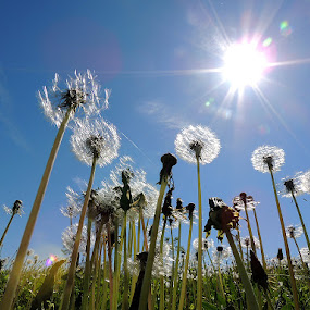 maslackov san by Dunja Kolar - Nature Up Close Other plants ( maslacak )
