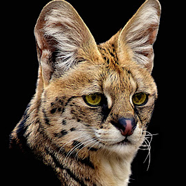 Serval, Savanna by Shawn Thomas - Animals Lions, Tigers & Big Cats