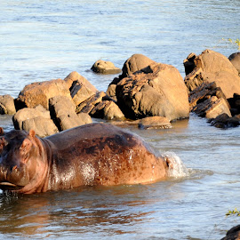 Wallow by DJ Cockburn - Animals Other Mammals ( hippo, splash, hippopotamus, wallow, majete, africa, malawi, tail, river, shire )