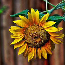Russian Giant by Bruce Newman - Flowers Single Flower ( dramatic textures, nature, colorful, dramatic, flower )