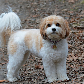 Cavachon Standing by Steven Liffmann - Animals - Dogs Playing ( cavachon, puppy, cute, dog, standing )