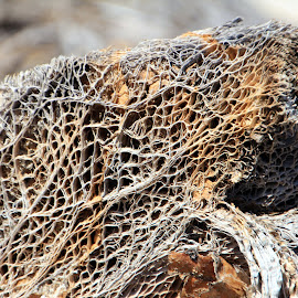 Insides of a Cactus by Amanda Crippes - Nature Up Close Other plants ( dry, desert, dead, veins, cactus )