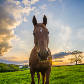 Horse in fields at sunset by Stephen Tolley - Animals Horses ( clouds, orange, equine, grass, horse, beautiful, stable, mammal, sun, sky, blue, sunset, summer, sunrise, golden, fields )