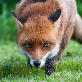 Foxy eyes by Darren Whiteley - Animals Other Mammals ( look, orange, fox, nature, stare, wildlife, mammal, animal, close, eyes,  )