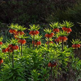 Lilies by Karin Wollina - Flowers Flower Gardens ( orange, nature, lilies, beautiful, flowers,  )