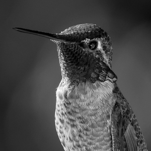 Male Anna's Hummingbird Black and White  27 02 18.jpg
