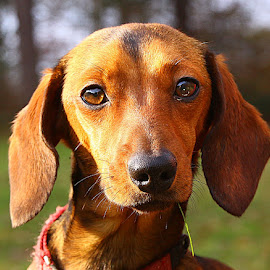 Cheeky Girl! by Chrissie Barrow - Animals - Dogs Portraits ( grass, portrait, eyes, red, female, pet, whiskers, dachshund (miniature smooth), ears, dog, nose, black, tan )