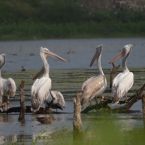 Pelicans by Yogesh Kumar - Animals Birds ( water, white, pelicans, grey, pond )