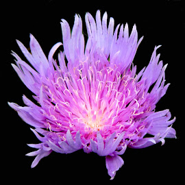 purple beauty by SANGEETA MENA  - Flowers Single Flower (  )