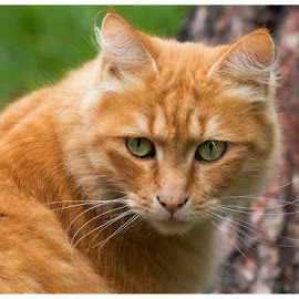 by Linda McBride - Animals - Cats Portraits ( cat, ginger cat,  )