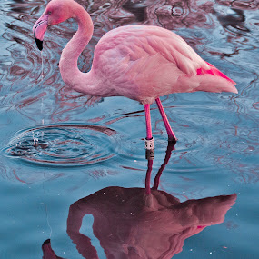Flamingo by Christian Rawlinson - Animals Birds ( uk, lancashire, martin mere, christian rawlinson )