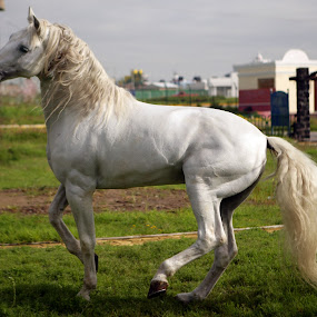 White Stallion by Cristobal Garciaferro Rubio - Animals Horses ( stallion, caballo, white stallion, caballo blanco, horse )